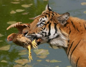 CHONGQING, CHINA - AUGUST 5: (CHINA OUT) A Siberian tiger eats a chicken in a pond to cool down at the Chongqing Safari Park August 5, 2007 in Chongqing Municipality, China. The park, which has 30,000 animals in 430 categories, keeps animals cool during a heatwave as temperatures hit 38 degrees Celsius (100 degrees Fahrenheit). (Photo by China Photos/Getty Images)